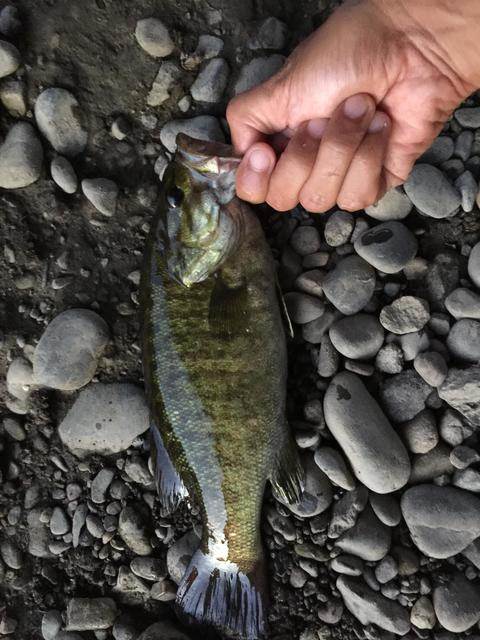 スモールマウス 多摩川中流域 実釣レポート 2018年6月14日