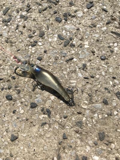 スモールマウス・マルタウグイ 多摩川中流域 実釣レポート 2019年4月3日