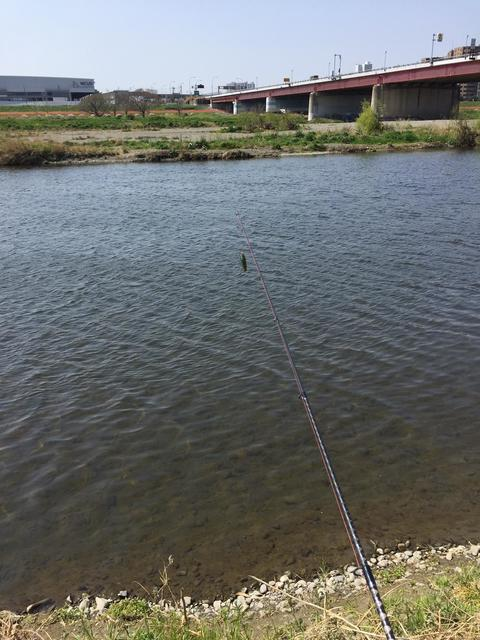スモールマウス・マルタウグイ 多摩川中流域 実釣レポート 2019年3月27日
