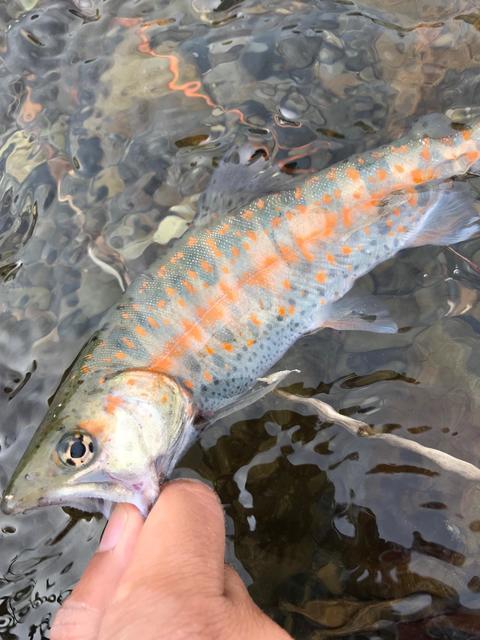 アマゴ・イワナ 木曽川上流域 実釣レポート 2019年4月28日